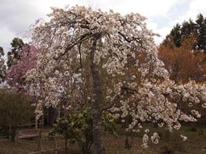 鈴木邸の庭の桜