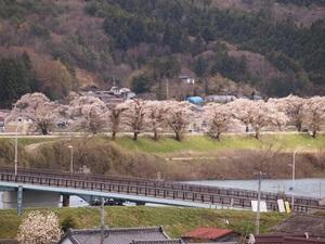 北上川堤防沿いの桜
