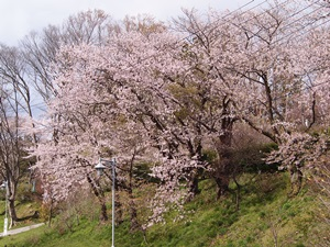 寺池城址公園の桜