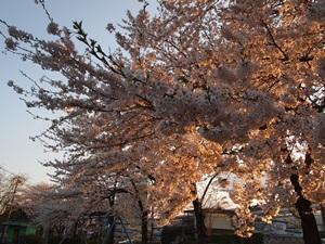 黒沢尻の桜