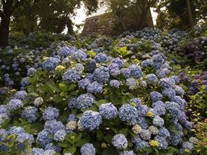 常盤門下の紫陽花