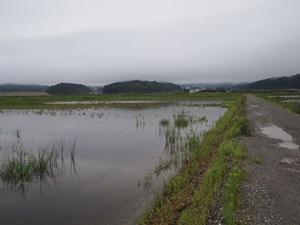 湿地帯となった水田跡?