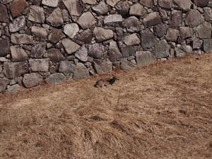 本丸堀の鹿