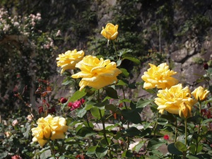 盛岡城のバラ1